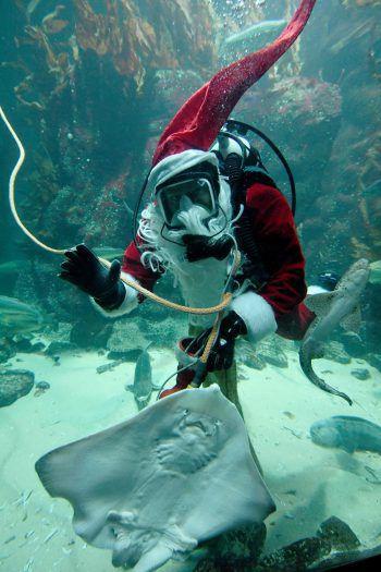 <p>Tönning. Abgetaucht: Ein als Santa Claus verkleideter Taucher füttert im Becken des Aquariums der deutschen Stadt einen Rochen.</p>