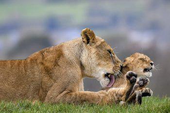<p>Kidderminster. Liebevoll: Dieser junge Löwe wird im West Midlands Safari Park von seiner stolzen Mutter abgeleckt und gereinigt. Fotos: AFP, APA, AP, Reuters, dpa</p>