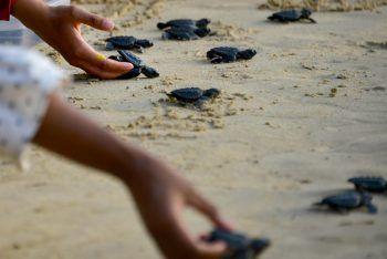 <p>Aceh. Auf große Reise: Indonesische Kinder helfen hunderten Baby-Schildkröten bei ihrem Weg ins Meer.</p>