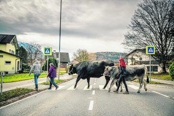 Achtung, Verwechslungsgefahr: Das sind nicht die Beatles und das ist nicht der berühmte Zebrastreifen vor den Abbey-Road-Studios. Hier gehen Andrea, Abdelilah und Anja mit Gitti und Rosi in Rankweil spazieren. Dabei sind staunende Gesichter von Fußgängern und Autofahrern garantiert.Fotos: Sams