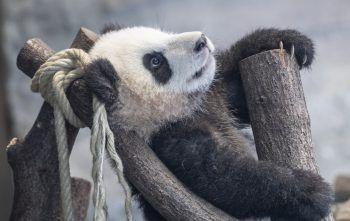 <p>Berlin. Entspannt: Ein Panda-Junges macht es sich in seinem Gehege im Zoo gemütlich. Fotos: APA, DPA, AP, AFP</p>