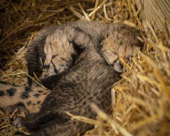 <p>Columbus. Putzig: Zwei Geparden-Geschwister kuscheln sich eng aneinander.</p>