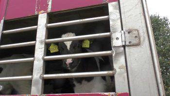Ab sofort gelten schärfere Vorlagen bei Tiertransporten. Fotos: VGT, Sams