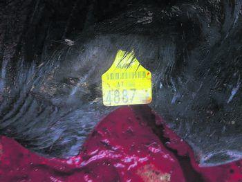 """<p class=""""caption"""">Diese Ohrmarke stammt von einem Rind aus Lustenau, das in den Libanon verschifft wurde.Foto: Animals International</p>"""