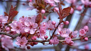 Ein duftendes Blütenmeer, das in unzählingen Rosa- und Weißtönen fasziniert.