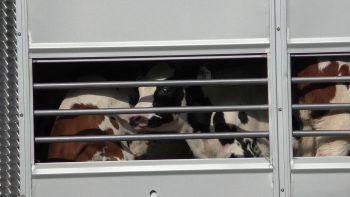 Grenzenloses Tierleid: Dicht an dicht gedrängt stehen die Rinder und Kälber in dem Transporter. Versorgung gibt es praktisch keine.Foto: VGT Vorarlberg
