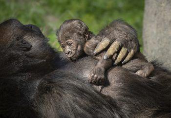 <p>Los Angeles. Kuschelig: Das noch namenlose Gorilla-Baby macht es sich auf der Brust seiner Mutter N'djia im Zoo der Metropole gemütlich. Fotos: AFP, APA, AP, Reuters, dpa</p>