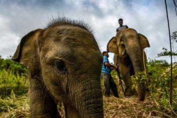 <p>Meulaboh. Neugierig: Ein Elefanten-Junges im indonesischen Alue Kuyun-Reservat interessiert sich sehr für die Kamera. Fotos: AFP, APA, AP, Reuters, dpa</p>