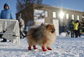 <p>Omsk. Kuschelig: Dieser süße Vierbeiner beobachtet gespannt ein Hundeschlittenrennen.</p>