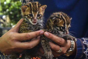 <p>Pekanbaru. Flauschig: Zwei Leoparden-Kätzlein in einem indonesischen Naturschutzgebiet.</p>