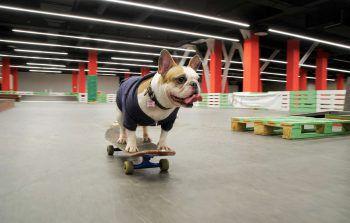 <p>Tscheljabinsk. Lässig: Die FranzösischeBulldogge Sonya, dank ihrer Skateboard-Skills ein Social-Media-Star, rollt durch eine Halle in der russischen Großstadt.</p>