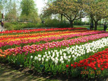 Bei der Holland-Reise kann man die spektakulären Blumenfelder im Frühjahr bestaunen.