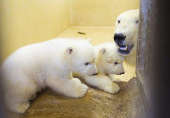 """<p>Bremerhaven. Putzig: Zwei Eisbärbabys kuscheln mit ihrer Mutter """"Valeska"""" in ihrem Gehege.</p>"""