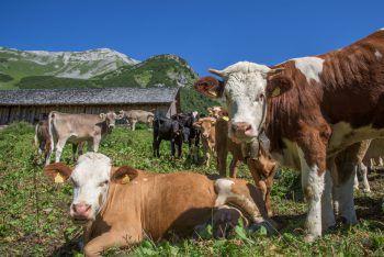 In Vorarlberg werden vor allem Helfer für die heimischen Alpen gesucht. Foto: Lerch