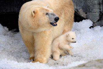 <p>Kopenhagen. Süß: Ein Eisbären-Junges erkundet mitseiner Mutter das Gehege im Zoo der dänischenHauptstadt. Fotos: AFP, APA, AP, Reuters, dpa</p>