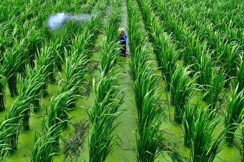 <p>Puli. Fleißig: Ein Mann arbeitet auf einer riesigen Reisplantage in Taiwan.</p>