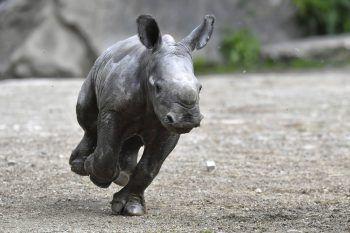 <p>Salzburg. Flott: Dieses drei Tage alte Nashornbaby dreht eine Runde in seinem Gehege.</p>