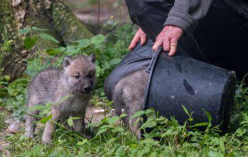 <p>Springe. Putzig: Ein Mitarbeiter des niedersächsischen Zoos füttert den fünf Tage alten Polarfuchsnachwuchs.</p>