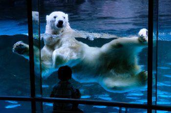<p>               Yokohama.             </p><p>Neugierig: Dieser Polarbär beäugt die Besucher des Hakkeijima Sea Paradise schwimmend.</p>