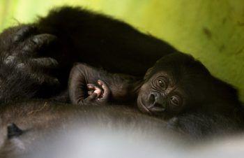 <p>Antwerpen. Süß: Dieses erst wenige Tage alte Gorillababy macht es sich im Gehege eines belgischen Zoos auf dem Bauch seiner Mutter gemütlich.</p>