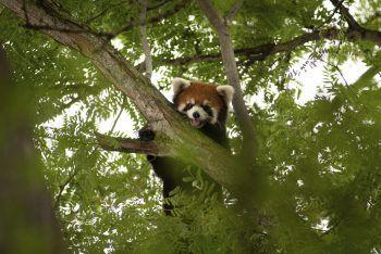 <p>Powell. Gefunden: Nachdem er kürzlich aus seinem Gehege getürmt war, ist der Rote Panda Kora wieder gesund und munter zurück.</p>