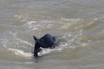 Die Buckelwale kamen von ihrer Route in die Antarktis ab.Foto: AFP