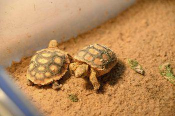 <p>Hattiesburg. Winzig: Zwei wenige Tage alte Schildkrötenbabys erkunden erstmals ihre Umgebung.</p>