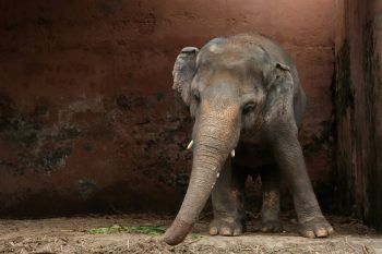 """<p>Islamabad. Süß: Kavaan, der kleine Elefant erkundet im """"Marghazar Zoo"""" seinen Umgebung.</p>"""