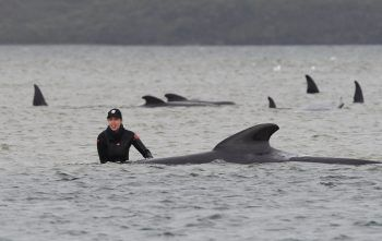 <p>Strahan. Gestrandet: 25 der rund 270 an der australischen Insel Tasmanien gestrandeten Grindwale sind gerettet worden (Stand gestern). Sie seien von Sandbänken oder aus seichtem Wasser befreit worden und befänden sich nun wieder im Meer, teilten Mitarbeiter des Meeresschutzprogrammes der tasmanischen Regierung mit.</p>