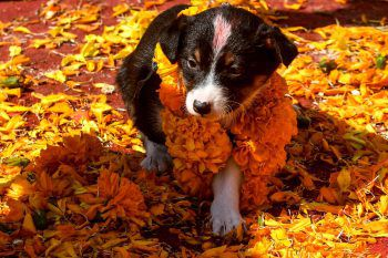 """<p>Kathmandu. Geschmückt: Anlässlich des hinduistischen """"Fests des Lichts"""" bekam dieses Hundewelpen besonderen Halsschmuck.</p>"""