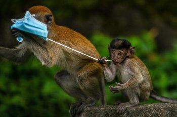 Kuyantan. Süß: Dieses Makaken-Junge kaut an einem Bändel, der offensichtlich nicht mundet.