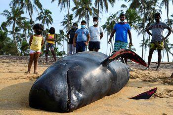 <p>Panadura. Traurig: Menschen an der Küste Sri Lankas betrachten die Überreste dieses gestrandeten Grindwales.</p>