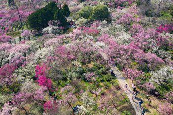 <p>Jiangsu. Farbenfroh: Besucher eines Winterkirschen-Gartens lassen sich von der bunten Blütenpracht verzaubern.</p>
