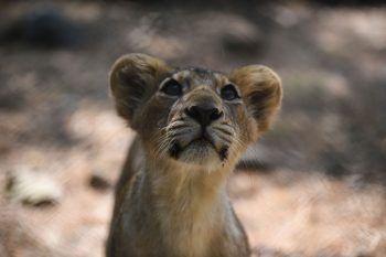 <p>Junagadh. Neugierig: Dieses neugeborene Löwenjunge erkundet das Gehege im Sakkarbaug Zoological Garden, einer indischen Tierschutzeinrichtung für gefährdete asiatische Löwen.</p>