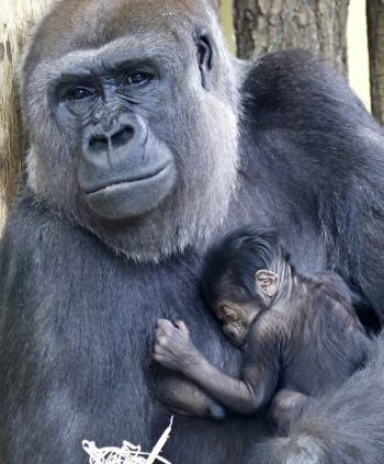 <p>Berlin. Müde: Gorilla-Dame Bibi hält ihr schlafendesNeugeborenes an der Brust.</p>