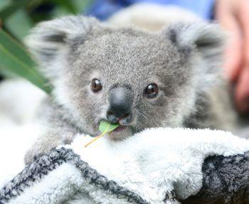 <p>Duisburg. Hungrig: Im Zoo der Stadt kaut Koala-Baby Eerin nach dem Zufüttern mit Milch an einem Eukalyptusblatt.</p>