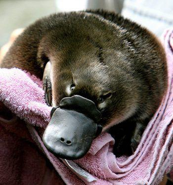 <p>Sydney. Bedroht: Ein Pfleger hält ein Schnabeltier-Baby im Zoo von Sydney. Die nur in Australien heimischen Tiere sind durch den Klimawandel und seine Folgen für die Natur vom Aussterben bedroht. Fotos: AFP, AP, APA</p>