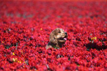 <p>Grevenbroich. Süß: Dieser putzige Vierbeiner hat es sich in einem Tulpenfeld gemütlich gemacht.</p>