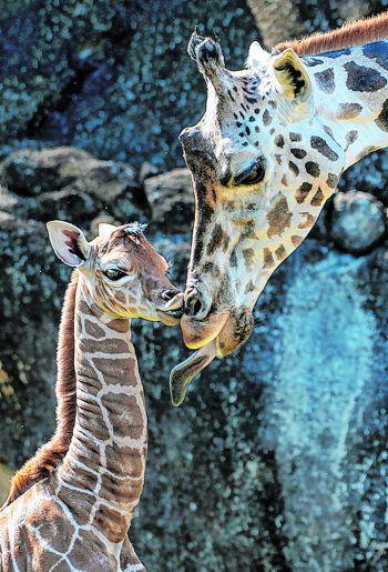<p>Miami. Niedlich: Ein junges Giraffenkalb schmust im Zoo mit seiner Mutter.</p>