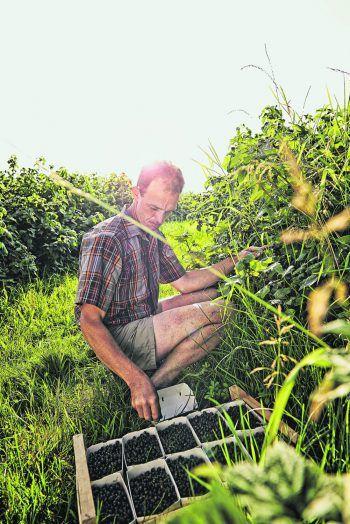Auf dem Winderhof ist das Beerenpflücken richtige Handarbeit. Fotos: handout/Sutterlüty