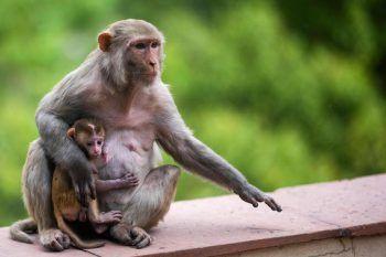 <p>Neu-Delhi. Neugierig: Dieses Affen-Junge stattet mit seiner Mutter den Mitarbeitern eines Bürogebäudes in der indischen Hauptstadt einen Besuch auf der Balkon-Brüstung ab.</p>