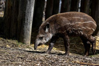 <p>Paris. Neugierig: Ein Baby-Tapir erkundet sein Gehege im zoologoischen Park der französischen Hauptstadt.</p>