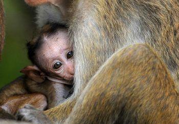 <p>Dambulla. Schutz: Dieses Affen-Baby fühlt sich bei seiner Mutter sicher.</p>