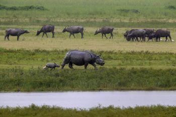 <p>Gauhati. Idyllisch: Ein Nashorn-Junges läuft in Indien mitseiner Mutter an einer Herde grasender Büffel vorbei.</p>