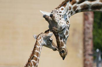 <p>Oklahoma City. Innig: Giraffe Ellie kuschelt mit ihrem Kalb im Zoo der Stadt. Der junge Giraffenbulle wurde erst vor zehn Tagen geboren und hat noch keinen Namen.</p>