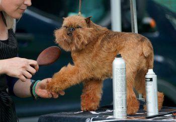 <p>Tarrytown. Herausgeputz: Bitte recht freundlich: Im US-Bundesstaat New York findet die 145. Ausgabe der traditionsreichen Hundeschau WestminsterKennel Club Dog Show statt.</p>