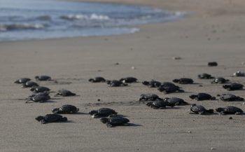<p>Bali. Winzig: Baby-Schildkröten werden auf der indonesischen Insel nach ihrer Aufzucht von Naturschützern ausgesetzt.</p>