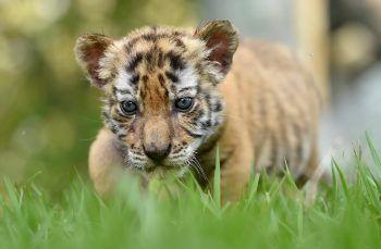 """<p>Doradal. Streifzug: Das kleine Tigerbaby erkundet im """"Hacienda Napoles Tierpark"""" die Gegend.</p>"""