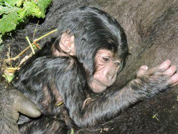 <p>Kibumba. Süß: Ein Gorillababy kuschelt sich im Virunga National Park in der Demokratischen Republik Kongo an seine Mutter.</p>