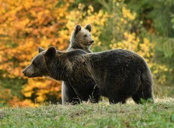 <p>Tusnad. Niedlich: Eine Bärin streift mit ihrem Jungen durch die rumänischen Wälder.</p>
